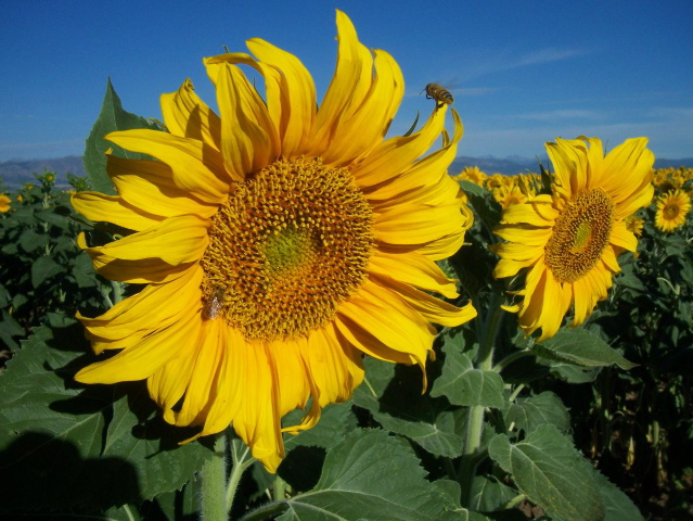 Honeybees foraging on sunflowers, eastern Boulder County, August 2010 © Doyen Mitchell